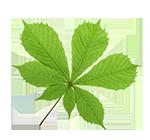 holistic-yoga-online-horse-chestnut-leaf
